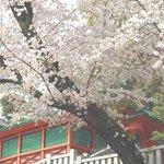朱色の塀と桜が美しい