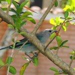 pássaro comendo acerola
