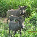 Wart-hogs at Kapama camp ground