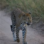 Following the Leopard before she killed male Impala