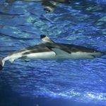 An amazing Blacktip Reef Shark