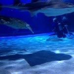 Shark Ray, Sea Turtle and divers during the show