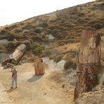 Окаменевшие стволы секвой на склоне вулкана