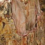 Окаменевшая древесина секвойи
