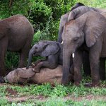 Baby Elephant play time1