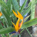 Bird of Paradise - the gardens are spectacular