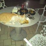 gato morador do hotel come nas mesas