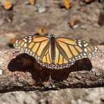 mighty monarch 5