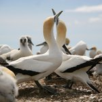 Gannets on display