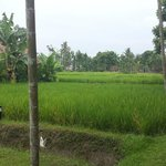 Rice paddie to front of room