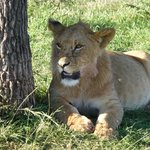 2 year old male  lion cub