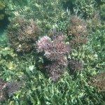 pink bird's nest coral