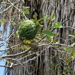 Weaver bird making his nest