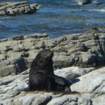 Lone seal at the colony