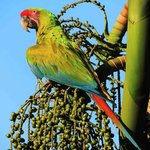 Liberated Great Green Macaw eating Chonta palm fruit