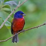 Painted Bunting at the visitor center