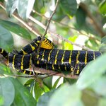 The black and yellow snake