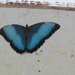 één van de grote blauwe exemplaren
