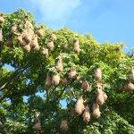 hanging nests of the Montezuma oropendola bird