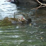 "little green heron ""fishing"" with orange peel"