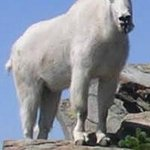 Mountain Goat on Scotchman Peak