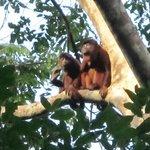 Monkeys in the Amazon Rain Forest of Peru