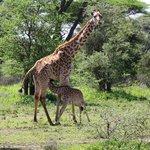 Giraffe beim Säugen