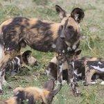 Wildhunde - Ein seltenes Erlebnis