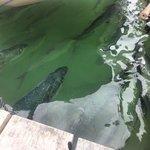 tarpon fish under the dock !