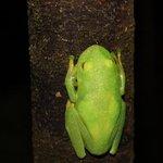 glow in the dark frog