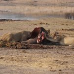 Lion Kill - a little too close for comfort!