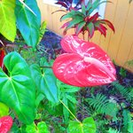 Tropical Anthurium plant outside of Inn