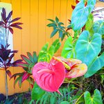 Tropical Anthurium Plant outside Inn