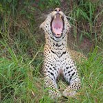 We sow Leopards in our arrival in the camp