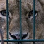 Löwe im Zoo Eberswalde