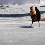 Coq en liberté dans les rues