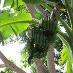 Bananenstaude ind er Gartenanlage