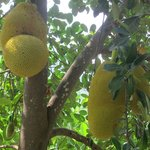 Jackfruit on the plantaion, there are many other trees incl rubber and cocoa tres