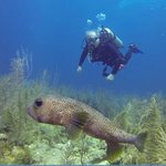 large porcupine fish with diver