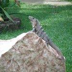 A friendly Iguana posing for the camera