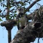 eagle grabbing & eating a monkey