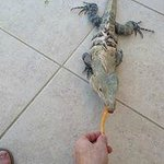 Feeding The Resident Iguana Lil Willie