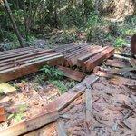 mahogany tree felled