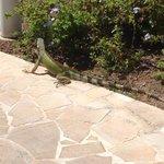 Amigável Iguana Xong