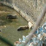 Royal Bengali white Tigers