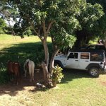 """The Mango"": the horses came every morning to eat fruit dropped overnight from the trees"