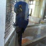 Giggles, the Amazon Macaw, at El Conquistador Resort, Puerto Rico