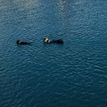 Otters frolicking in the bay right outside the window.