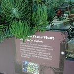 Stone plants 1