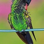 A young male hummingbird
